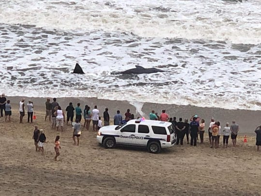 A whale was found ashore the beach in Ocean City, Maryland on Sunday, Sept. 15, 2019.
