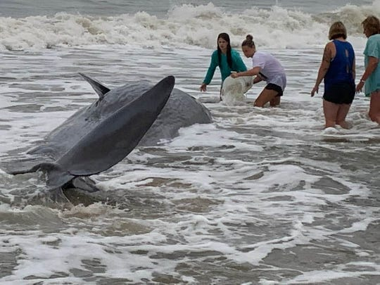 What National Aquarium experts believe to be an extremely underweight juvenile sperm whale was found stranded on the beach in Ocean City, Maryland on Sunday, Sept. 15, 2019.