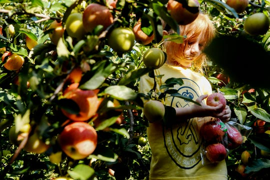 Cordelia Briggs looks at a gala apple she plucked from a tree at Sky Top Orchard in Flat Rock September 12, 2019.