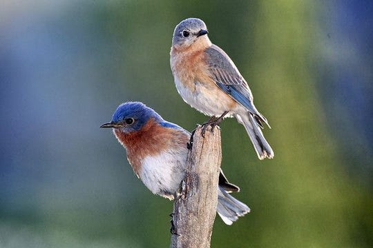 The New York State Bluebird Society's Annual Membership Meeting will be held Saturday.