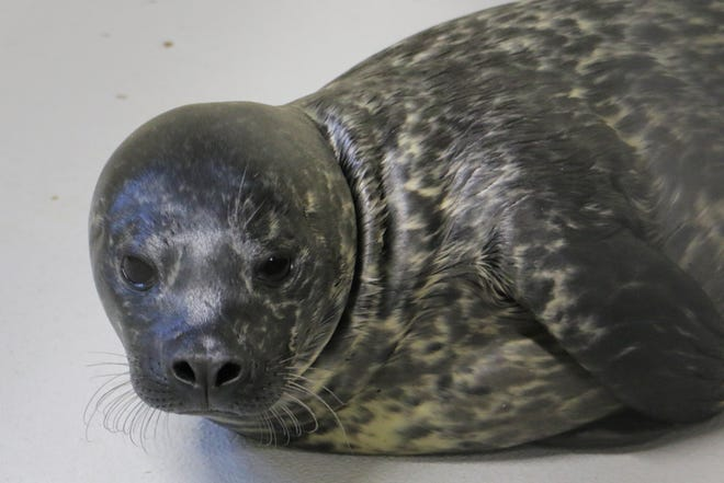 Blank Park Zoo's newest seal pup