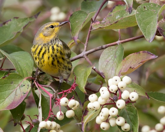 Warblers and other songbirds start migrating out of Central Indiana in September and October.