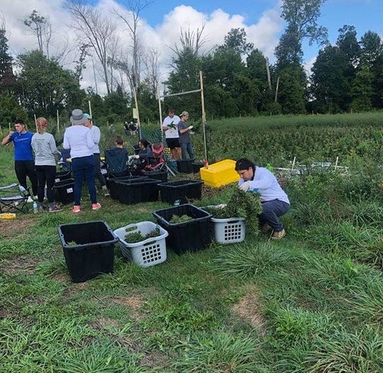 Mara McCalmon and others harvest hemp plants in St. Clair County for Thumb Coast CBD, a business that could open a storefront in St. Clair in the next three months.