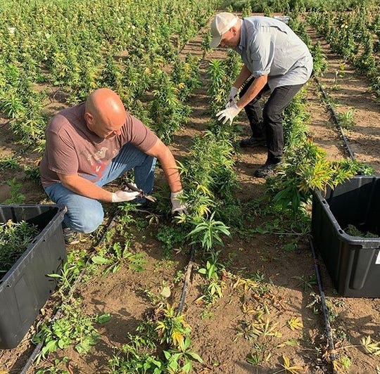 People work on 1.5 acres of hemp plants for the business Thumb Coast CBD, which hopes to open a storefront in St. Clair in the next three months.