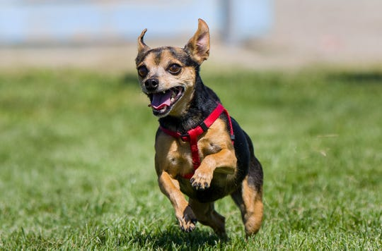 A pet competes in the mini dog races during Pet Lovers Day at Mountain View Park in Yerington.