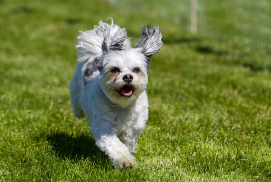 Geddy, a 5 year old Pug-Maltese mix, participates in the small dog races.