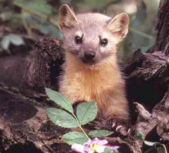 The state has banned the tapping of Humboldt martens.