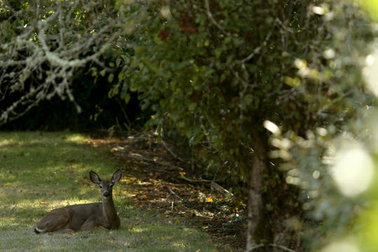 A deer sits in the shade near Nelson Park in Salem on Sep. 16, 2019.