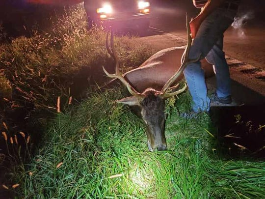 A motorist struck and killed this bull elk  in Nodaway County early Monday morning.