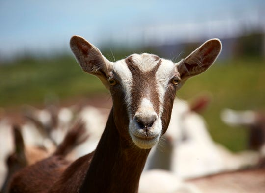 Goats are more finicky eaters than many believe, and producing quality goat milk requires highly-tailored diets.
