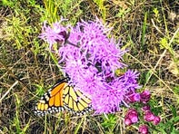 A Monarch butterfly gathers some nourishment from a Blazing Star on the Apps' prairie in Waushara County.