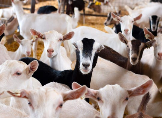 The U.S. Department of Agriculture counted more than 83,000 dairy goats in Wisconsin in 2017, far and away the most dairy goats of any state in the U.S.