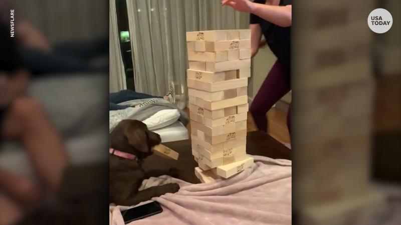 Smart Labrador puppy plays Jenga like a champ