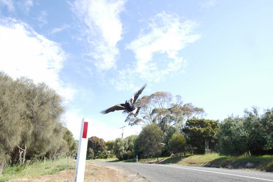 An Australian magpie swooping through the air.