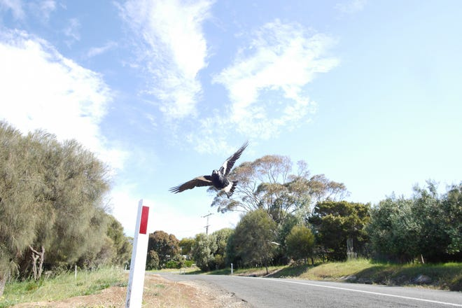 An Australian magpie swooping through the air.