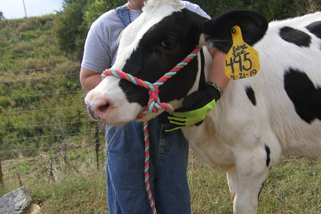 Mason Wallin holds tight to five-month-old calf Edna Sue during Madison 4-H Dairy Project practice.