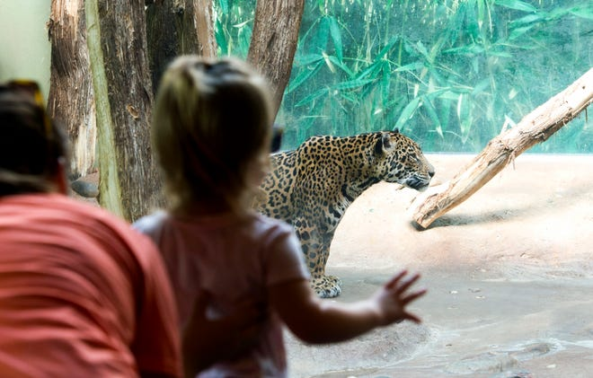 Visitors watch Beliza the Jaguar roam around the Amazonia exhibit at Mesker Park Zoo & Botanic Garden Tuesday afternoon, Sept. 17, 2019. The 13-year-old Jaguar has been at the zoo since 2007 and was recently diagnosed with a condition called carcinomatosis, cancer in her abdomen.