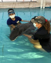 Institute for Marine and Mammal Studies workers are trying to nurse a melon-headed whale back to good health.