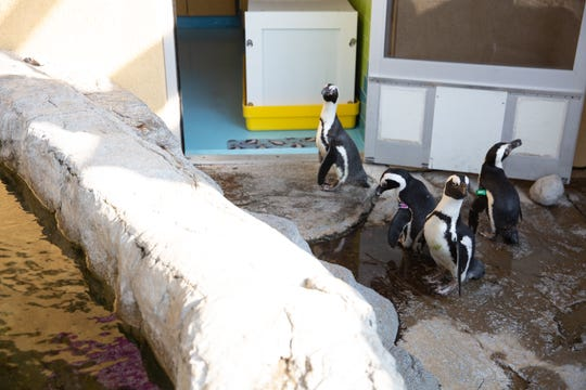 The four penguins from Zoo Knoxville get a first look at part of their space at Ripley's Aquarium of the Smokies. The zoo closed its penguin habitat and moved its four penguins to the Gatlinburg aquarium Tuesday, Sept. 17.
