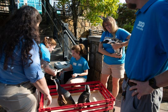 Zoo Knoxville zookeepers remove four African penguinis from their carriers and ready them to roll into Ripley's Aquarium of the Smokies.  The zoo has closed its penguin habitat and moved its four penguins to the Gatlinburg aquarium.