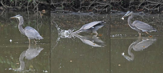 A great blue heron successfully pulls a fish out of Charles Mill Lake for breakfast on Tuesday.