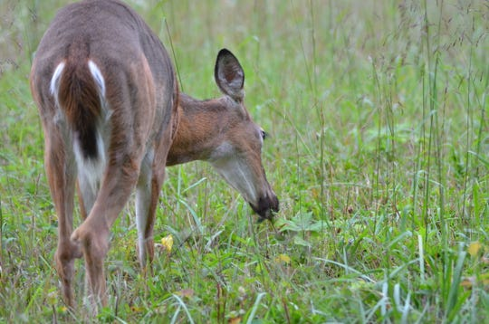 If this doe is infected, it may take 2 to 3 years to show signs of CWD.