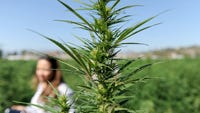 The Camarillo City Council rejected a proposed moratorium on industrial hemp cultivation Wednesday night.