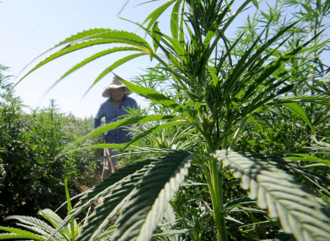 Martin Mota clears grass between rows of industrial hemp plants at McGrath Family Farms in Camarillo.