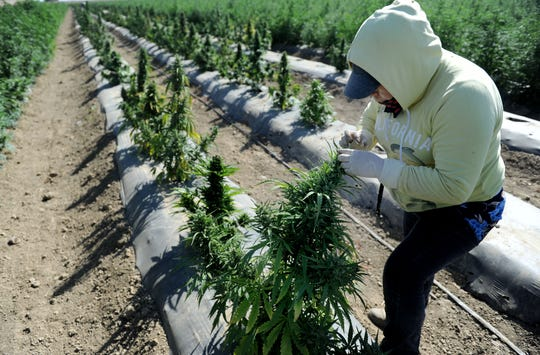 Juana Garcia inspects industrial hemp flowers for insects at McGrath Family Farms in Camarillo.
