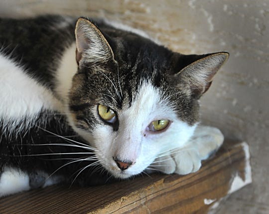Meet Scuttle. He is a 21-month old Domestic Shorthair/Mix that is looking for his new home. He does well with other cats and most people and can be found at the Humane Society of Wichita County.