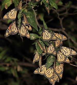 Monarch butterflies rest on a branch.