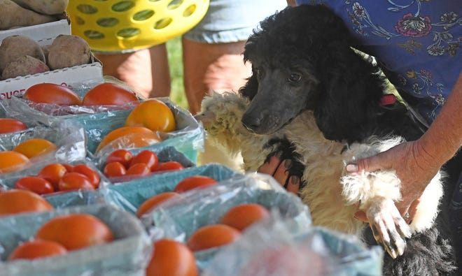 Hurricane, a standard poodle, shops for tomatoes at the Crestline Farmers Market on Tuesday afternoon.