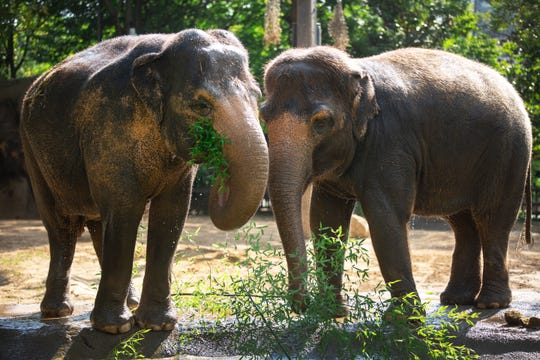 Schottzie, left, and Jati, both females, in the Elephant Reserve at the Cincinnati Zoo and Botanical Garden.
