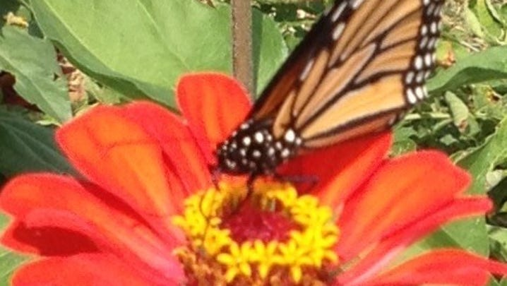 The Monarch and milkweed depend on each other