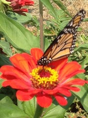 A monarch sips from a blooming flower.