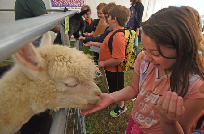 Cheyenne Taylor, a third-grader at Edison Elementary, feeds an alpaca from Gaelic Glen Alpacas on Wednesday. The third-graders were tasked with an educational scavenger hunt. The Ashland County Fair gates are open until Saturday evening.