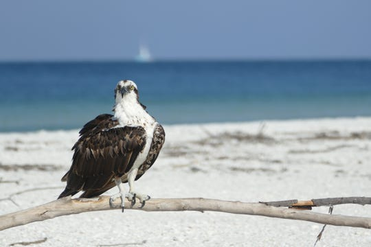 An osprey stands on a dead mangrove branch in Tigertail Beach on Sept. 11, 2019.