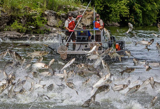 Silver carp jump out of the water during a survey by U.S. Fish and Wildlife Service personnel.