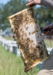 Tommy Van Horn, owner of East Hill Honey Company, checks on the honeybees at his apiary in McDavid, on Tuesday, September 17, 2019.