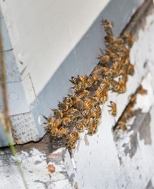 Beekeeping is off limits in Sioux Falls, but a group of City Councilors hope to change that.