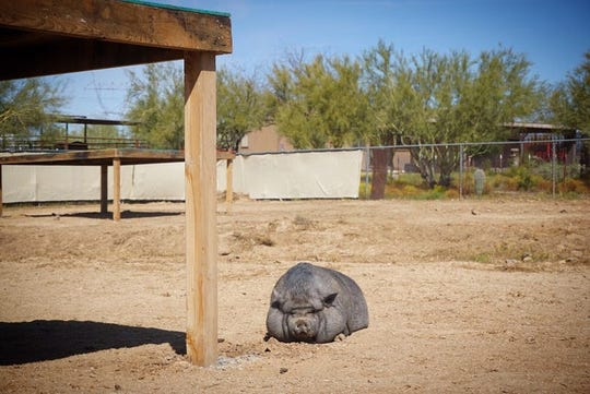 A rescued pig rests at the Better Piggies Rescue pig sanctuary in northern Phoenix.