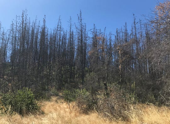 A dense stand of dead knobcone pine in the community of Shasta was killed during the Carr Fire. Fire officials say knobcone pine grow in dense thickets that cause fires to burn more intensely.