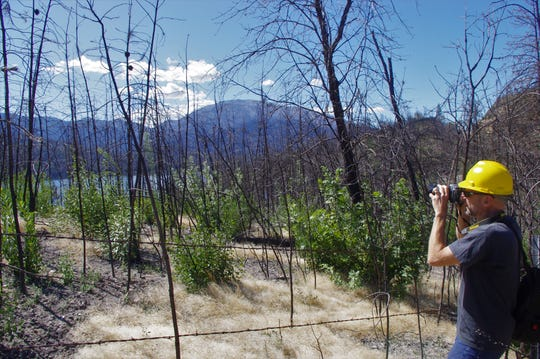 U.S. Forest Service Research Ecologist Eric Knapp photographs knobcone pine that germinated after the 2008 Motion Fire near Whiskeytown Lake and were burned in the 2018 Carr Fire.