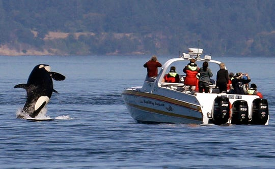 An orca leaps out of the water near a whale watching boat in the Salish Sea in the San Juan Islands, Wash in 2015. Habitat protections for an endangered population of orcas would be greatly expanded under a proposal to be advanced by NOAA Wednesday, Sept. 18, 2019. (AP Photo/Elaine Thompson, File)
