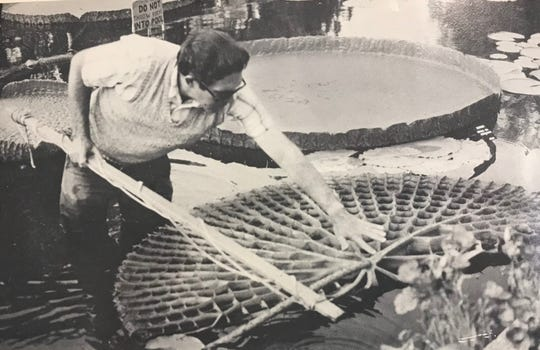 Kenneth Landon shows the underside of the gigantic Victoria c.v. Longwood hybrid on display at the water lily collection in Civic League Park in 1989.