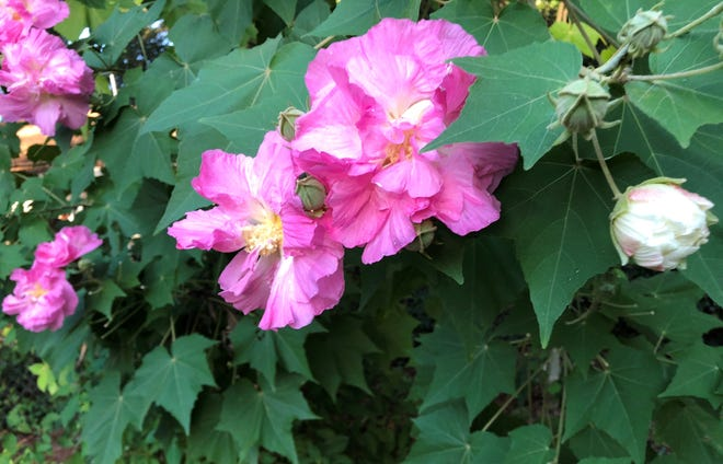 Confederate rose – pink phase.