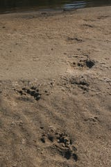 Bear tracks going into the water along the Apalachicola River.