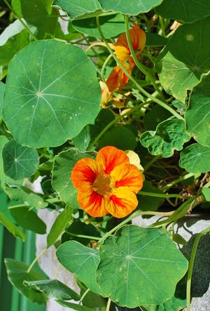 Landscapes can be beautiful and productive. Install a few plants which are harvested from landscape beds and brought into the kitchen.  Violas and nasturtiums (pictured) have beautiful blooms which can be harvested for salads and elegant dessert garnishes.