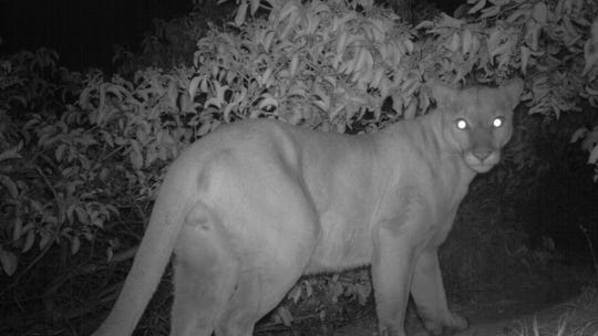 This uncollared mountain lion's habitat appears to be east of the 405 Freeway.