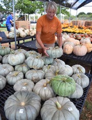 Kristi Baumhardt sets out Blue Cheese ornamental pumpkins Wednesday at the Pumpkin Patch of Smith's Gardentown Farms.